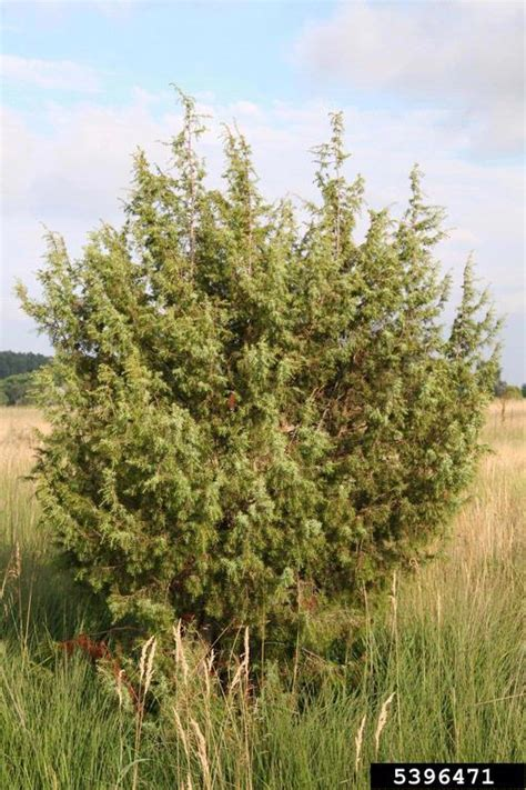do olive trees invasive roots russian olive elaeagnus angustifolia rhamnales elaeagnaceae 5396471