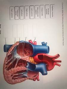 32 Label The Internal Anatomy Of The Heart
