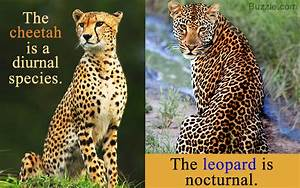 Jaguar Vs Cheetah | www.pixshark.com - Images Galleries ...