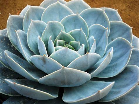 Echeveria 'Encantada' | World of Succulents