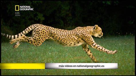guepardo corriendo youtube