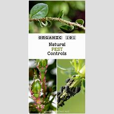 1000+ Ideas About Aphid Spray On Pinterest Propagating