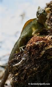 Basilisk Lizard Florida