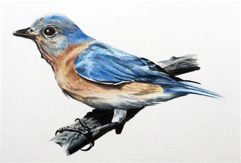 bird sketch  color pencil drawings art gallery