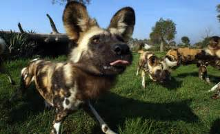 African Wild Dog Zoo