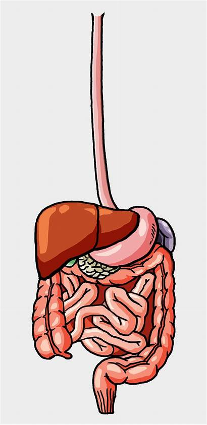 Digestive System Male Clipart Cartoons Human Systems