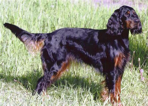 Gordon Setter Info, Temperament, Care, Training, Puppies