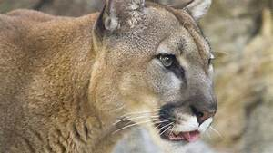 Mountain Lion - Cougar HD Wallpapers | HD Wallpapers (High ...