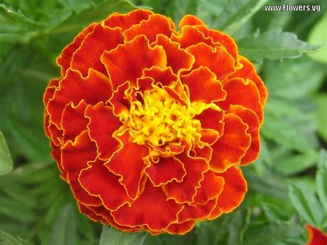 pictures of marigold flowers pictures of marigold flowers beautiful flowers