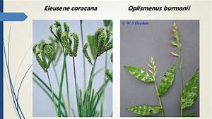 Gramineae  Poaceae  It Is The One Of The Largest Plant Family