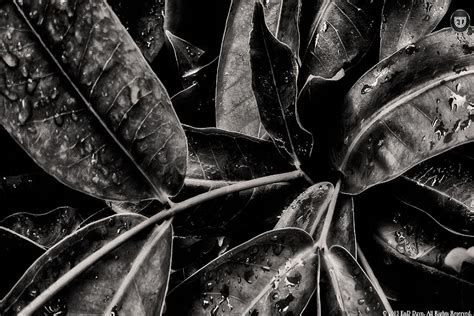 black  white leaf wallpaper  desktop