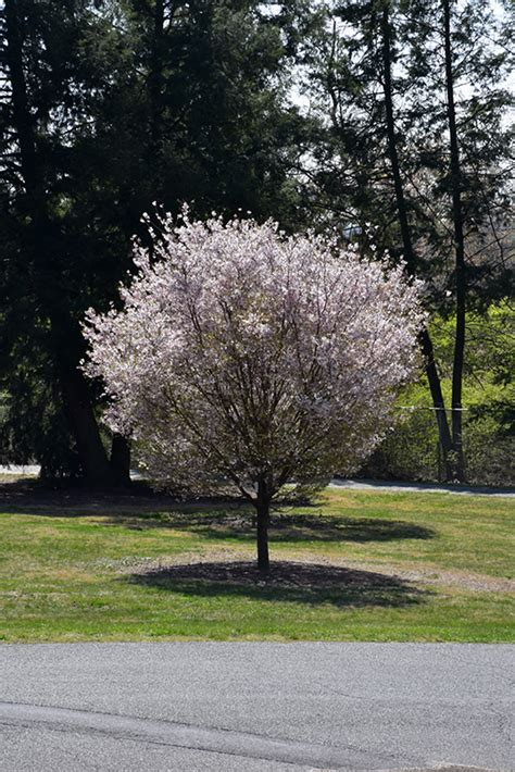 autumnalis higan cherry prunus subhirtella autumnalis