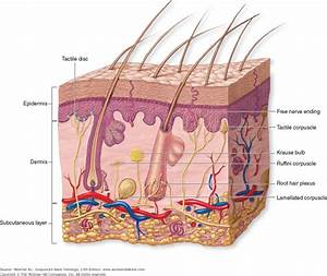 Integumentary System Hair Diagram
