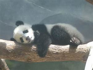 Sleeping Baby Panda by rosegirl123 on DeviantArt