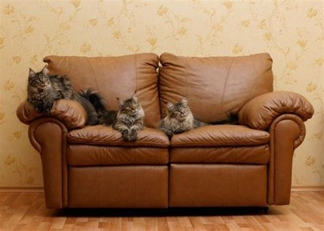 clean cat urine  leather furniture cleaning