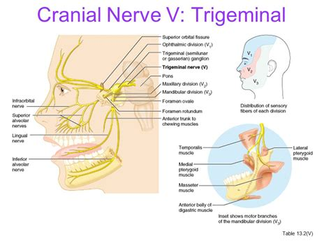 cranial nerves and their nuclei ppt