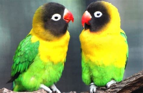 Lovebird - Description, Habitat, Image, Diet, and ...