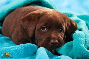 Labrador Retriever Puppy in blue by Kirikina on DeviantArt