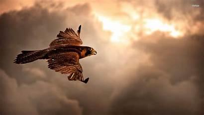 Hawk Hawks Birds Wallpapers Wings Nature Feathers