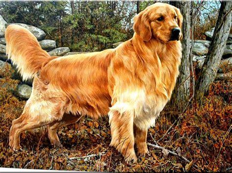 Golden Retriever Dog High Quality Pics Wallpapers Background