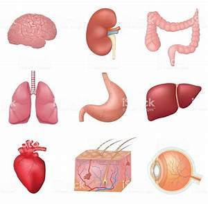 Human Internal Organs Stock Vector Art  U0026 More Images Of 2015 497609890