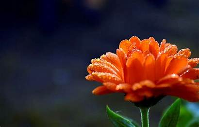 Flower Orange Widescreen Bokeh Screen Background Wallpapers
