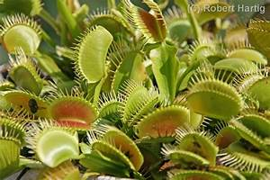 dormancy for carnivorous plants | The CopyFox