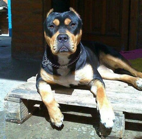 unreal rottweiler cross breeds       pitbull mix puppies rottweiler