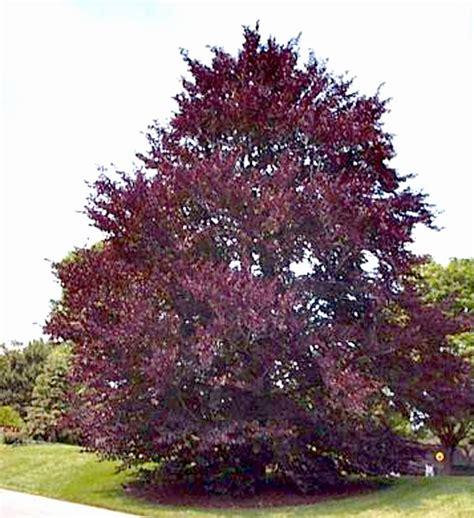 tree with purple leaves ornamental trees