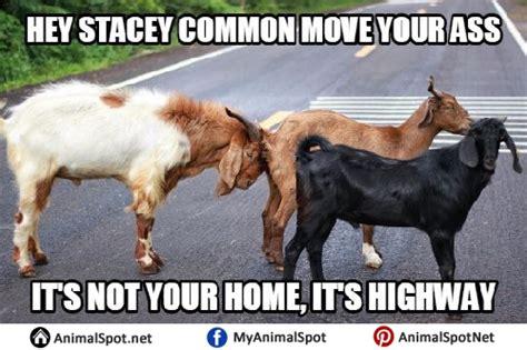 Billy Goat Meme - billy goat meme 100 images anti trump fbi agent s text mocks chelsea clinton as a billy goat