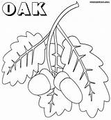 Oak Coloring Pages sketch template