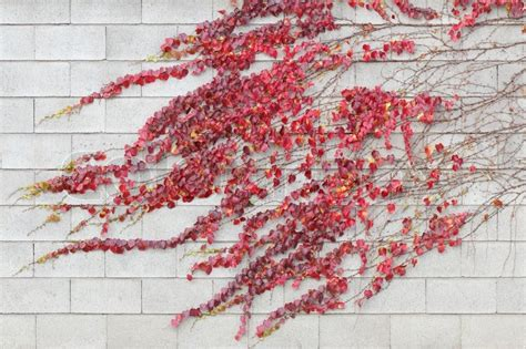 Red Ivy Creeper Leaves On A White Building Wall Stock