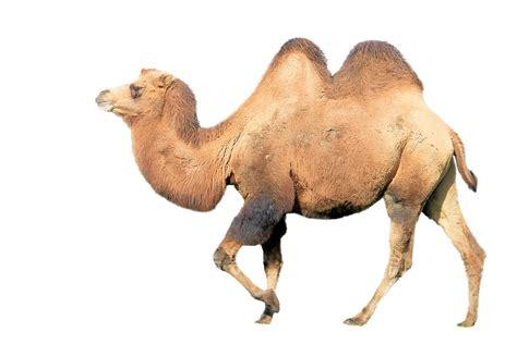 Camel Mammal Animal · Free Image On Pixabay