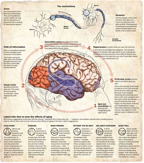 Infographic Aging Brain
