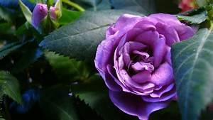 Beautiful purple roses in the garden wallpapers and images ...