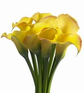 Calla Pflanze Giftig : zantedeschia captain amigo in de volksmond calla of aronskelk genoemd als ideale snijbloem ~ Frokenaadalensverden.com Haus und Dekorationen