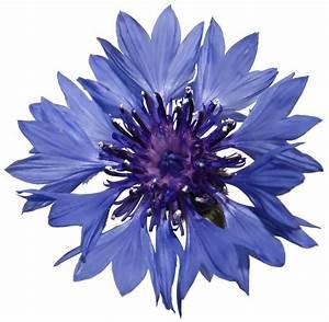 Blue Cornflower Petals   Lush Fresh Handmade Cosmetics UK