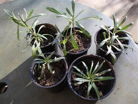 bowles perennial wallflower mauve erysimum apr likes