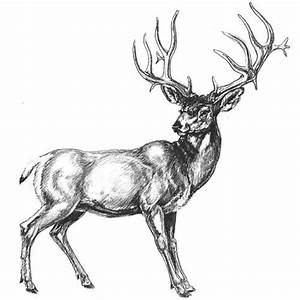 How to draw a deer step by step | art | Pinterest ...