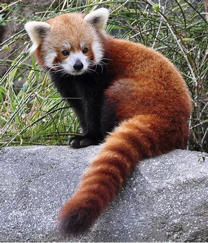 Panda Wallpapers Animals Google Pandas Curled Monday