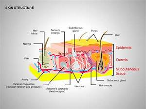 Skin Structure Diagrams