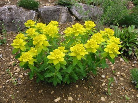 euphorbia perennial views from the garden cushion spurge euphorbia polychroma