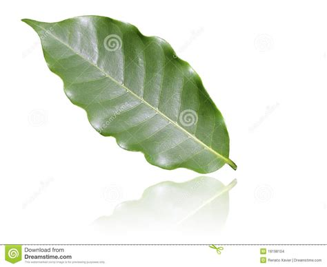 Coffee Leaf Stock Photo. Image Of Botany, Growth, Botanic Kicking Horse Kickass Coffee Review Pictures With Heart Irish Cup Download Captions 454 Power Egg Chalkboard Wallpaper