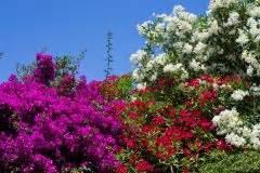 Oleander Alte Blüten Abschneiden : oleander z chten so wird die anzucht mit erfolg gekr nt ~ Yasmunasinghe.com Haus und Dekorationen