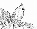 Cardinal Coloring Drawing Line Bird Pages Detailed Printable Drawings Template Templates Sketch Today Samanthasbell Paintingvalley Animals sketch template