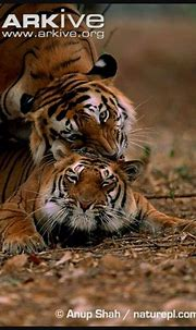 #BigCats | Tiger facts, Sumatran tiger, Tiger