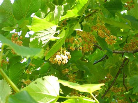 fiori molto profumati gli alberi profumati saper scegliere quelli giusti