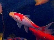 fische shubunkin goldfisch koi schleierschw 228 nze