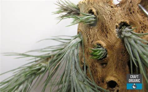 cholla cactus wood ls tillandsia on cholla wood craft organic