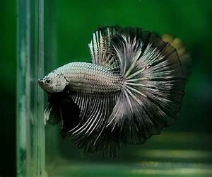 Black dragon   Betta (Fighting fish)   Pinterest
